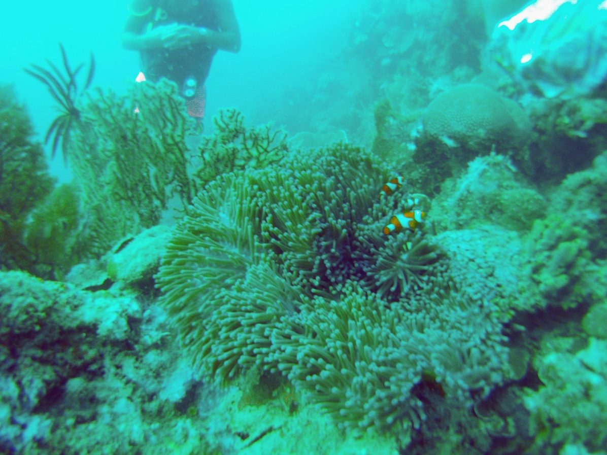 Nemo fish in Coron